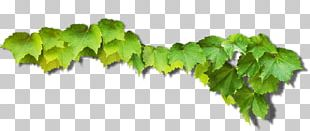 Common Grape Vine Green Grape Leaves PNG
