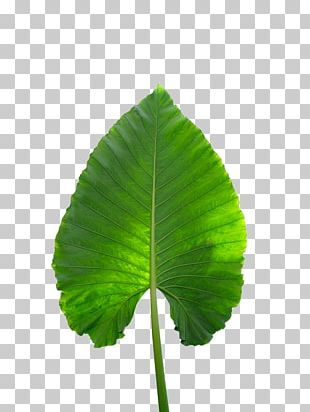 Musa Basjoo Musa Xd7 Paradisiaca Banana Leaf PNG