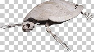 Loggerhead Sea Turtle Reptile Skeleton PNG