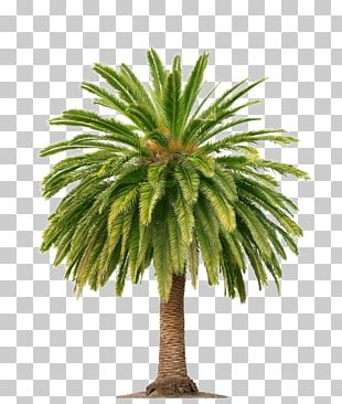 Palm Wine Arecaceae Palm Oil Tree PNG