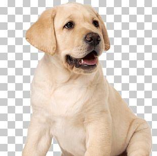Labrador Retriever Puppy Dog Breed Companion Dog Guide Dog PNG