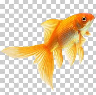 Goldfish Fin PNG