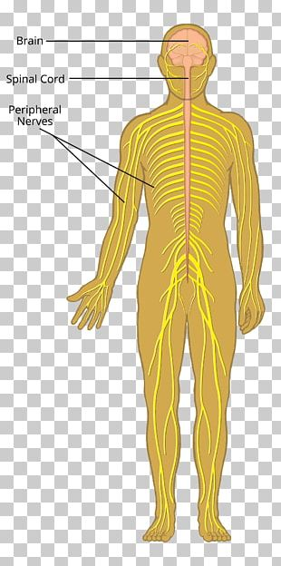 Nerve Organ Nervous System Muscle Human Body PNG