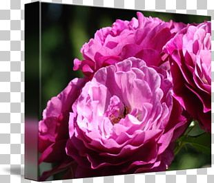 Flower Pink Purple Violet Rose PNG