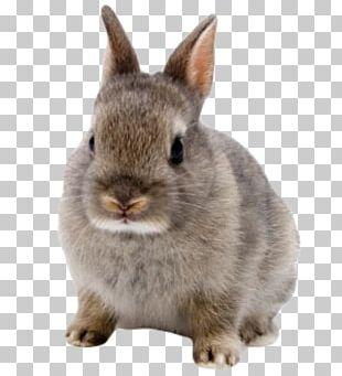 Netherland Dwarf Rabbit Domestic Rabbit Hare Lionhead Rabbit Mini Rex PNG
