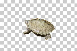 Amphibian Turtle Tortoise PNG