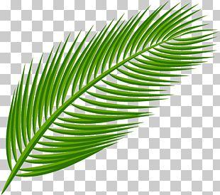 Arecaceae Leaf PNG
