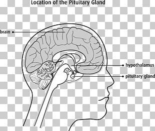 The Female Brain Cerebellum Nervous System Brainstem PNG