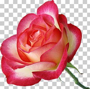 Garden Roses Pink Centifolia Roses PNG