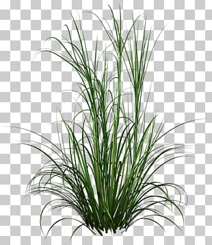 Purple Fountain Grass Lawn Grasses PNG
