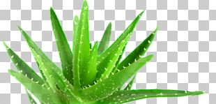 Aloe Vera Plant Medicine Forever Living Products Health PNG