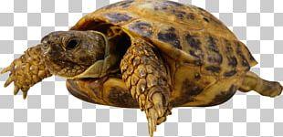 Sea Turtle Reptile Tortoise PNG