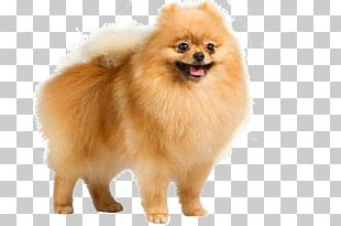 Pomeranian German Shepherd Puppy Dog Breed American Kennel Club PNG