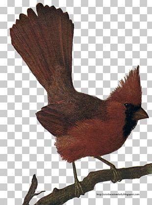 Bird Northern Cardinal St. Louis Cardinals Chicken PNG