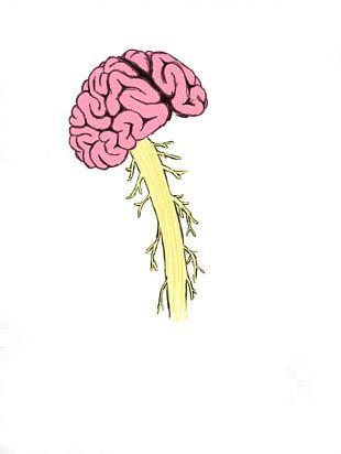 Human Brain Spinal Cord Injury Vertebral Column PNG