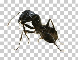 Carpenter Ant Insect Black Garden Ant Pest Control PNG