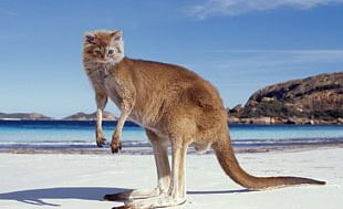 Fauna Of Australia Yorkshire Terrier Koala Macropodidae PNG