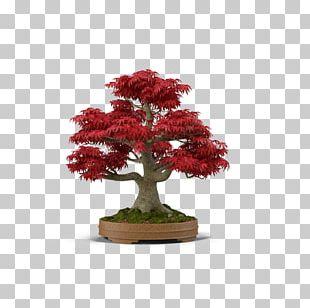 Japanese Maple Bonsai Tree PNG