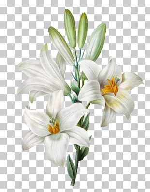 Madonna Lily Easter Lily Watercolor Painting Flower PNG