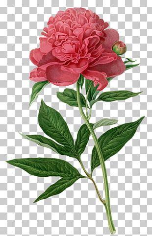 Peony Botanical Illustration Botany Printmaking Printing PNG
