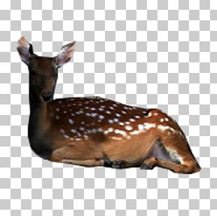 Deer Fauna Wildlife Tail Terrestrial Animal PNG