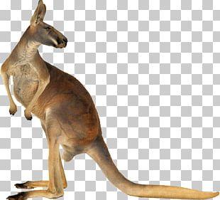Red Kangaroo Australia Eastern Grey Kangaroo PNG
