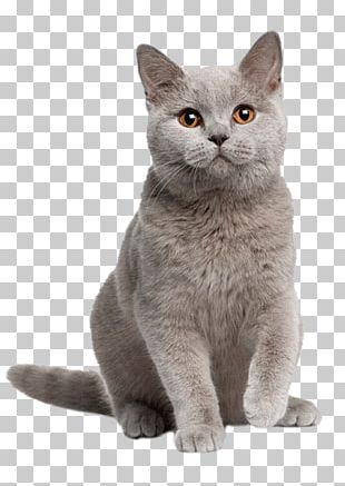 British Shorthair Kitten American Shorthair Maine Coon Burmese Cat PNG