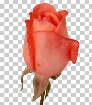 Garden Roses Cabbage Rose Cut Flowers Petal Bud PNG