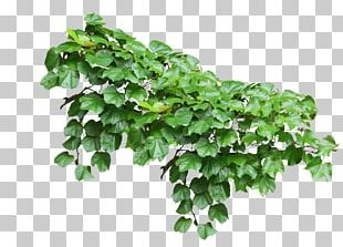 Common Ivy Vine Plant PNG