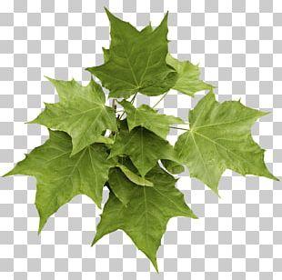 Tree English Walnut Maple PNG