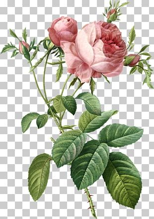 Garden Roses Cabbage Rose Painting Art PNG