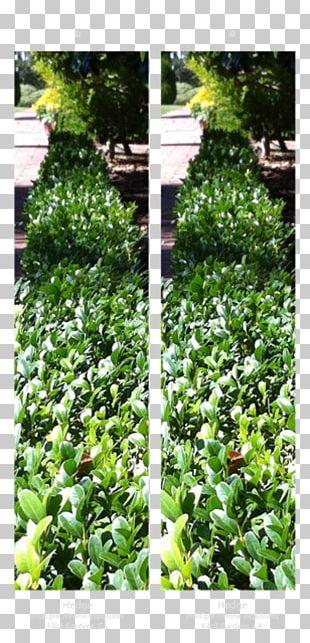 Leaf Garden Groundcover Evergreen Shrub PNG