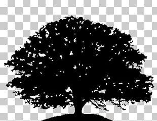 Oak Tree Silhouette Drawing PNG