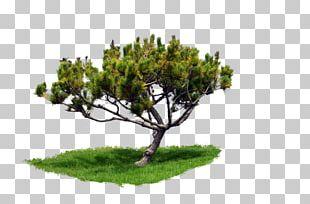 Pine Corel Photo-Paint Tree PNG