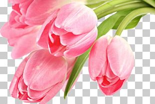 Tulip Desktop Pink Flowers PNG
