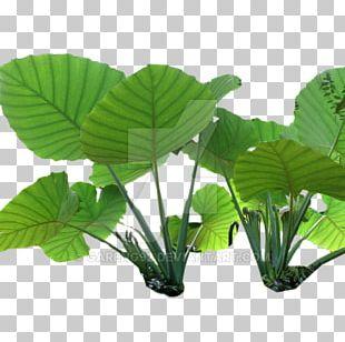Nelumbo Nucifera Leaf PNG, Clipart, Annual Plant, Art