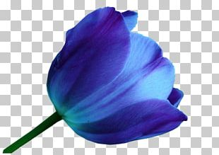 Tulip Blue Flower Color Purple PNG
