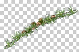 Spruce Fir Pine Larch Evergreen PNG