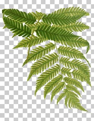 Beautiful Ferns Drawing Watercolor Painting PNG