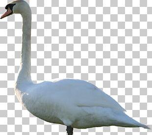 Goose Mute Swan Duck PNG