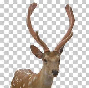 Reindeer Elk Roe Deer White-tailed Deer Moose PNG