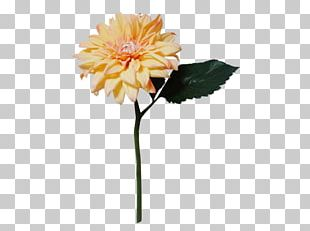 Transvaal Daisy Dahlia Cut Flowers Chrysanthemum PNG