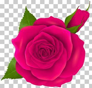 Garden Roses Centifolia Roses Rosa Chinensis Floribunda Pink PNG