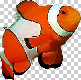 Ocellaris Clownfish Coral Reef Sea Anemone PNG