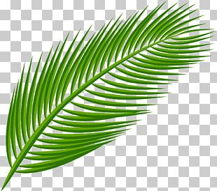Palm Branch Arecaceae Palm-leaf Manuscript PNG
