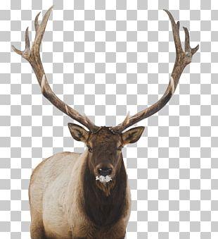 White-tailed Deer Elk Moose PNG