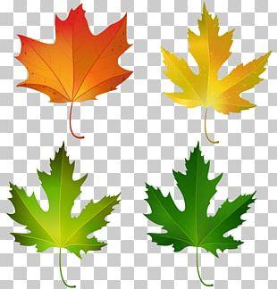 Maple Leaf Autumn Leaf Color Sugar Maple PNG