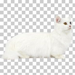 Burmilla Munchkin Cat Persian Cat Turkish Van Burmese Cat PNG
