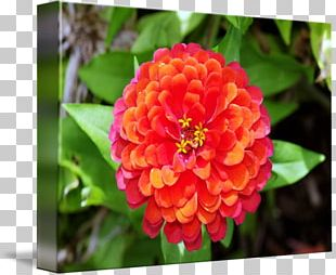 Annual Plant Herbaceous Plant Close-up Flowering Plant PNG