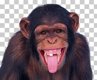Monkey Chimpanzee Ape PNG